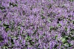Flor púrpura en el jardín Imagen de archivo