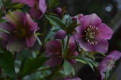 Flor púrpura en el jardín con los brotes Fotografía de archivo libre de regalías