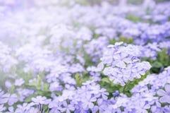 Flor púrpura en el jardín para el día santo y el día feliz Fotos de archivo