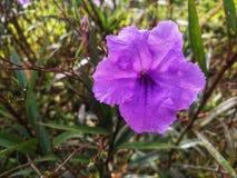 Flor púrpura en jardín Imágenes de archivo libres de regalías