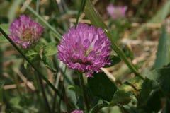 Flor púrpura en la floración Fotos de archivo libres de regalías
