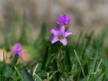 Flor púrpura en la Florida Foto de archivo libre de regalías