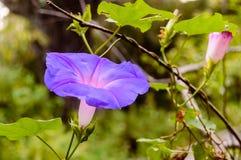 Flor púrpura en la Florida del sur Fotografía de archivo libre de regalías