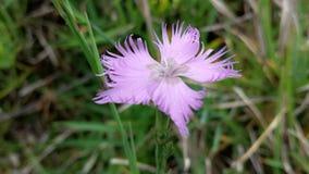 Flor púrpura en la hierba Foto de archivo libre de regalías