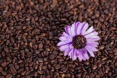 Flor púrpura en los granos de café Fotos de archivo libres de regalías