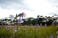 Flor púrpura en Phu Soi Dao Foto de archivo