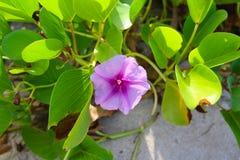 Flor púrpura en una isla de Fiji foto de archivo libre de regalías