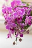 Flor púrpura floreciente de la orquídea de Retty - imagen fotografía de archivo libre de regalías