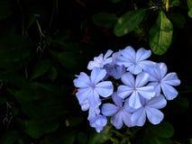 Flor púrpura hermosa Fotos de archivo libres de regalías