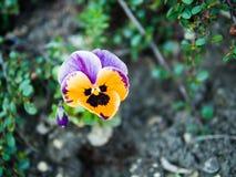 Flor púrpura hermosa Foto de archivo libre de regalías