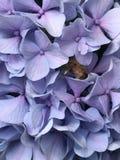 Flor púrpura hermosa con la abeja que recoge el polen Imagen de archivo libre de regalías