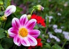 Flor púrpura hermosa de la margarita Fotos de archivo libres de regalías