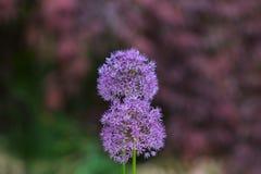 Flor púrpura hermosa del allium en el verano imagen de archivo
