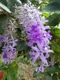 Flor púrpura hermosa del color de fotos naturales srilanquesas Imagen de archivo