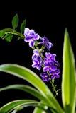 Flor púrpura hermosa del descenso de rocío de oro, baya de paloma Imagen de archivo libre de regalías