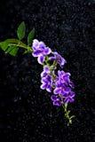 Flor púrpura hermosa del descenso de rocío de oro, baya de paloma, cielo Foto de archivo libre de regalías