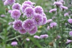 Flor púrpura hermosa del hibisco Fotos de archivo