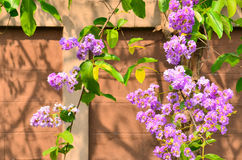 Flor púrpura hermosa en el fondo de la pared de Tailandia Imagen de archivo libre de regalías