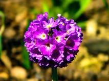Flor púrpura hermosa en la bola en día soleado foto de archivo
