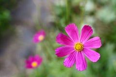 Flor púrpura hermosa en un fondo frondoso verde Fotos de archivo