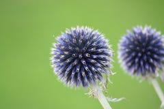 Flor púrpura que se asemeja a los fuegos artificiales contra un verde Fotografía de archivo