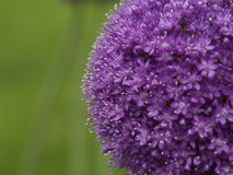 Flor púrpura redonda Fotografía de archivo libre de regalías