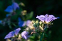 Flor púrpura retroiluminada Imágenes de archivo libres de regalías