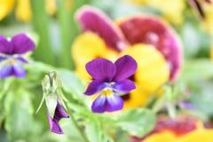 Flor púrpura, roja y amarilla Fotos de archivo libres de regalías