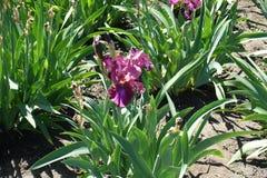 Flor púrpura rosácea del iris alemán fotos de archivo