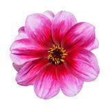 Flor púrpura rosada de la dalia aislada en blanco Imagen de archivo libre de regalías