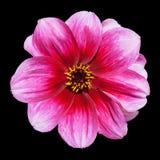 Flor púrpura rosada de la dalia aislada en negro Imagen de archivo libre de regalías
