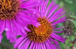 Flor púrpura rosada del cono Foto de archivo libre de regalías