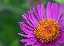 Flor púrpura rosada del cono Imagenes de archivo