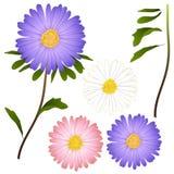 Flor púrpura, rosada y blanca del aster Aislado en el fondo blanco Ilustración del vector Foto de archivo