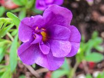Flor púrpura salvaje del cuento de hadas foto de archivo