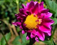 Flor púrpura, semillas amarillas Foto de archivo