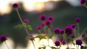 Flor púrpura video del amaranto de globo por el río en la puesta del sol metrajes