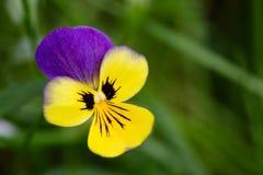 Flor púrpura y amarilla imagen de archivo libre de regalías