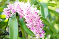 Flor púrpura y blanca de la orquídea en el jardín del verano Fotos de archivo libres de regalías