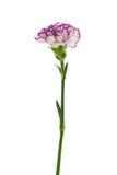 Flor púrpura y blanca del clavel Imagenes de archivo