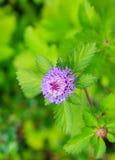 flor púrpura y hoja verde Imágenes de archivo libres de regalías