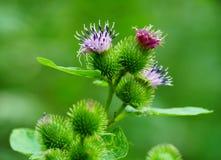 Flor púrpura y verde del cardo en el bosque Imágenes de archivo libres de regalías