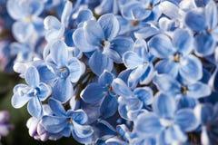 Flor p?rpura de la lila de la primavera del flor hermoso de la fragancia fotos de archivo libres de regalías
