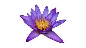 Flor p?rpura de Waterlily imagen de archivo