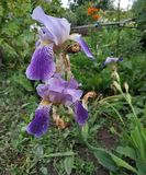Flor p?rpura hermosa Apenas uno dejado foto de archivo