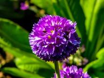 Flor p?rpura hermosa en la bola en d?a soleado foto de archivo