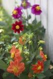 Flor para el jardín Foto de archivo libre de regalías
