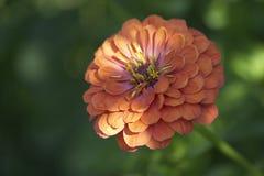 Flor para el jardín Fotos de archivo