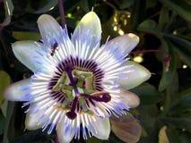 Flor-pasionaria azul de la pasión imagen de archivo