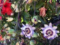 Flor-pasionaria azul de la pasión fotografía de archivo libre de regalías
